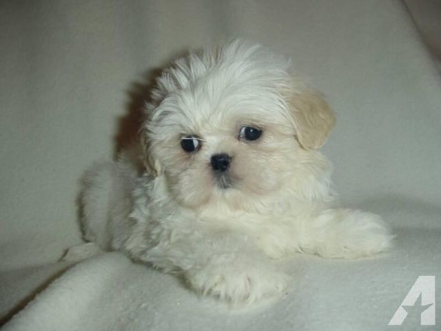 Cream And White Shih Tzu Puppy Male Ready Now Shih Tzu Puppy