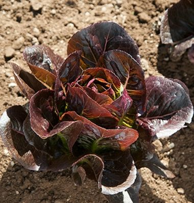 Truchas Organic Lettuce Seed With Images Organic Seeds Garden