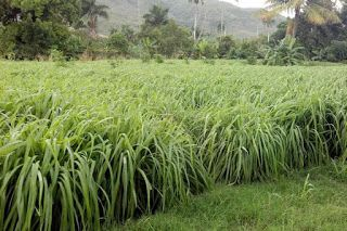 Món d´Aromes - Estètica Natural: Aceite Esencial de Citronela de Java.