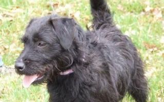 Wire haired Patterdale | Patterdale terrier, Cool pets ...