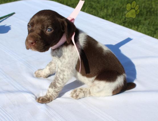 #GermanShortHairedPointer #Charming #PinterestPuppies #PuppiesOfPinterest #Puppy #Puppies #Pups #Pup #Funloving #Sweet #PuppyLove #Cute #Cuddly #Adorable #ForTheLoveOfADog #MansBestFriend #Animals #Dog #Pet #Pets #ChildrenFriendly #PuppyandChildren #ChildandPuppy #LancasterPuppies www.LancasterPuppies.com