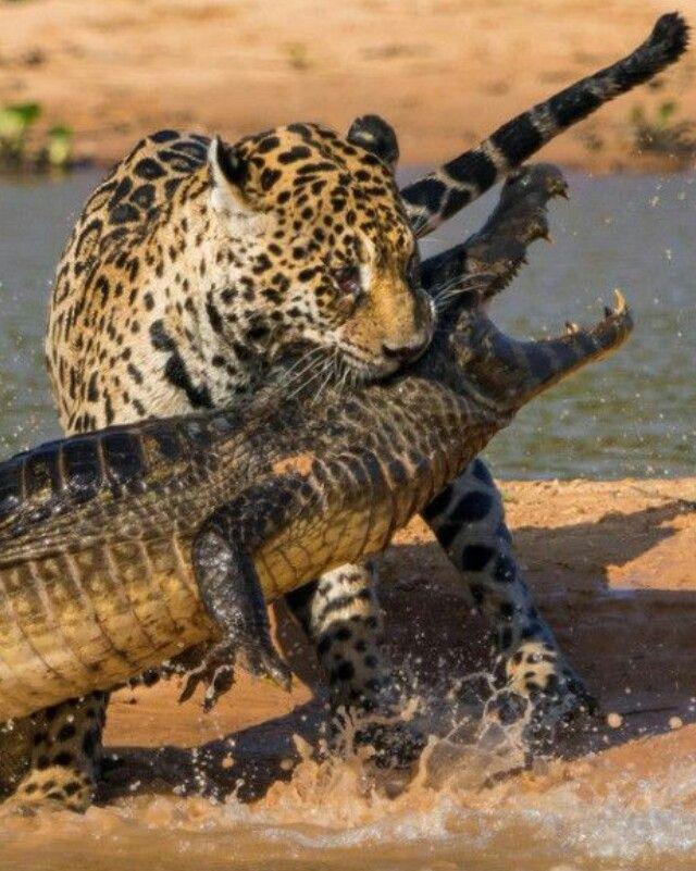 Jaguar vs cocodrilo