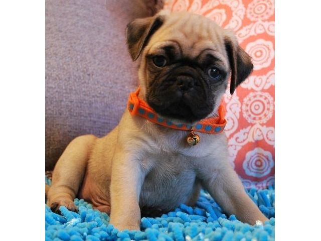Pin By Kayla On Animals Cute Pug Puppies Pug Puppies