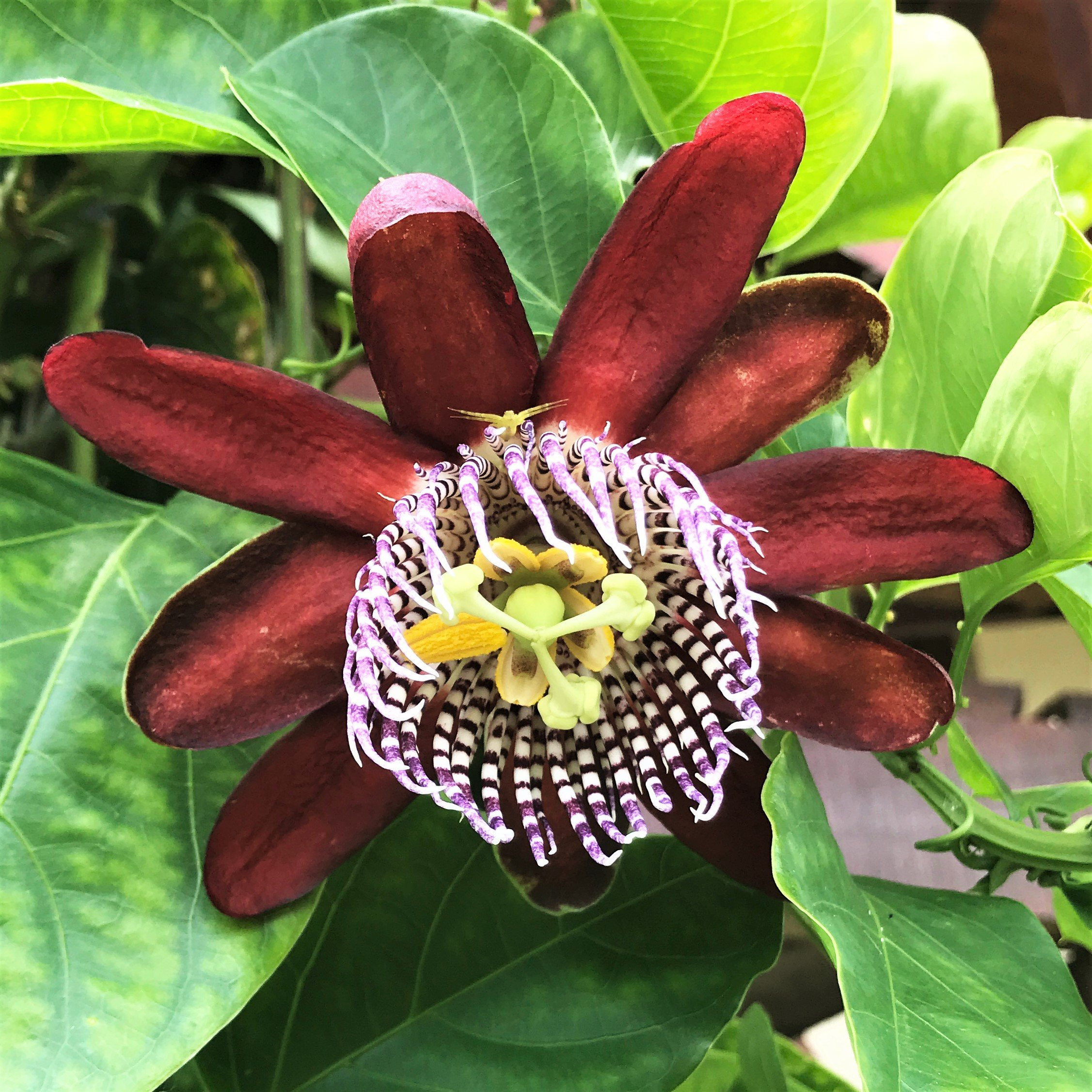 Passion Flower Passiflora Ruby Glow Passion Flower Plant Easy To Grow Bulbs Passion Flower