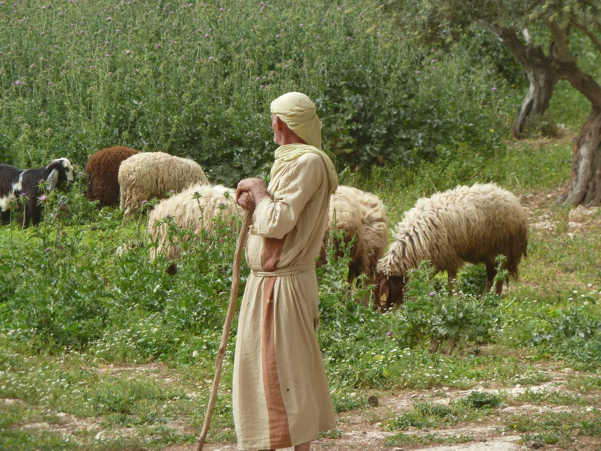 Image result for shepherd and sheep in Israel