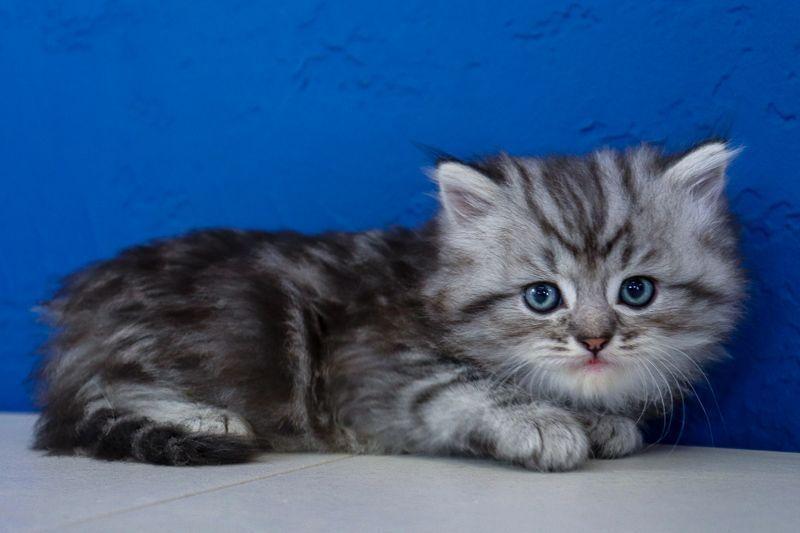 Ragdollkittens Wwwragcatsus Wwwragca Ragdoll Kittens Kitten Sale Near For Buy Meragdoll Kittens For Sale Near I 2020 Ragdoll Kittens Cute Kittens Kattunger