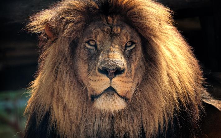 Download Wallpapers Lion 4k Wildlife Predators Besthqwallpapers Com Leon Imagenes Leon Fondo De Pantalla Fauna