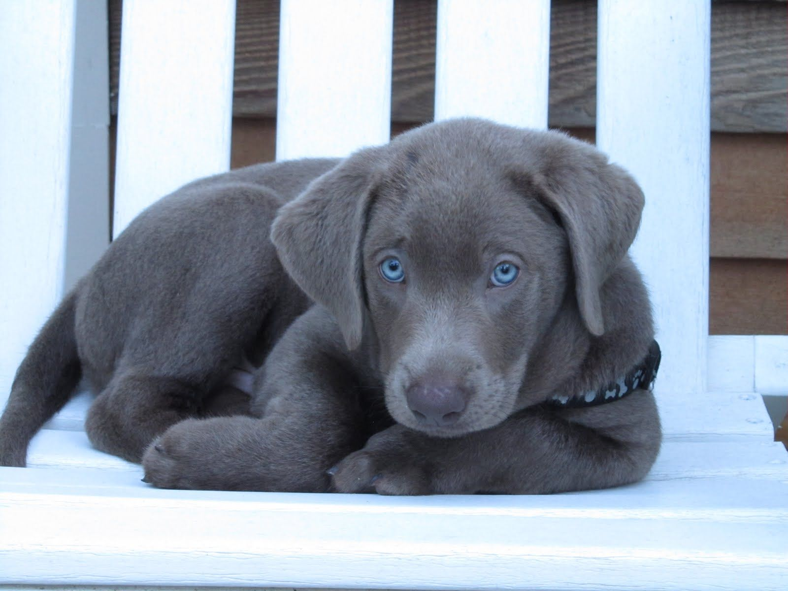 Silver Labs With Blue Eyes Lab puppies, Silver lab