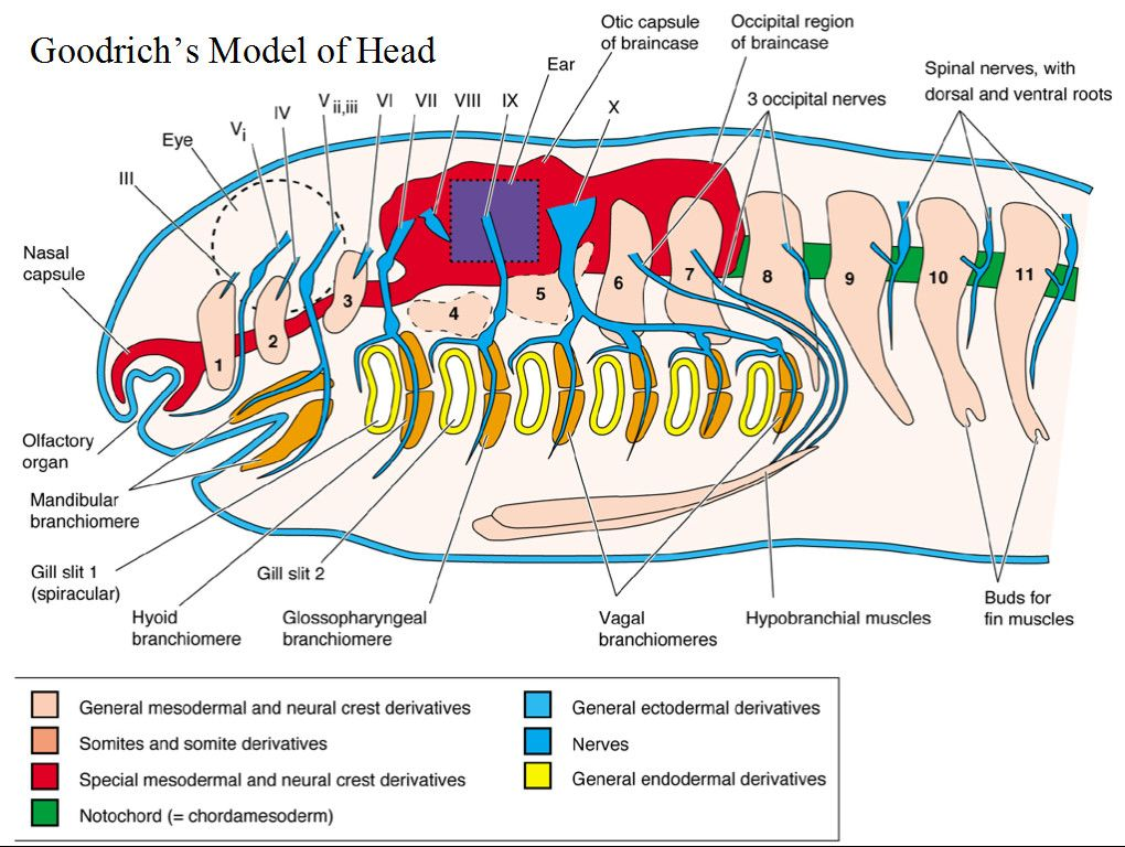 Amazing free comparative anatomy resource. Also, sharks (also for ...