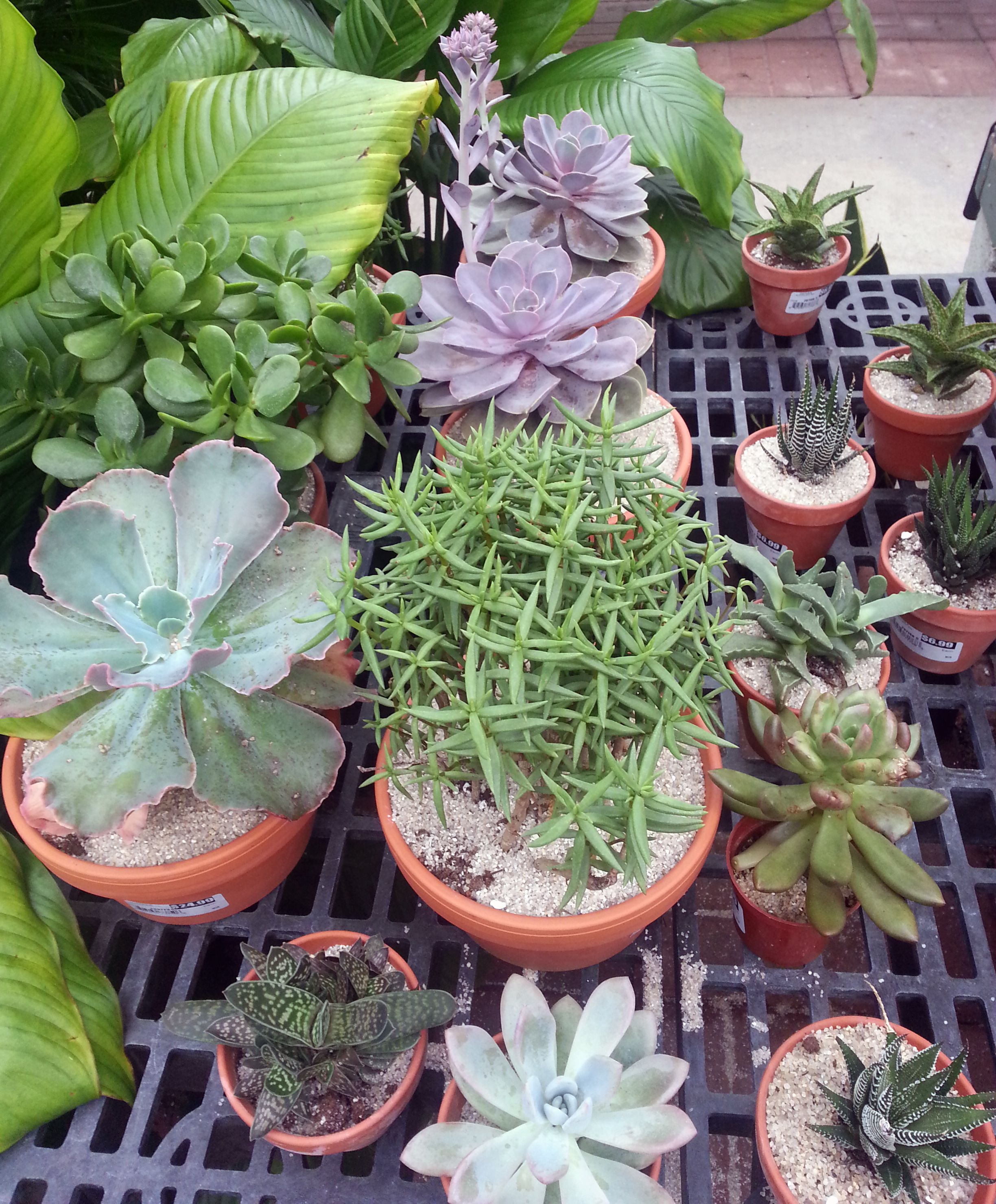 ... From Stauffers Of Kissel Hill Garden Center. Learn How To Care For  Succulents U0026 Cactus Here: (http://www.skh .com/gardeningatoz/cactus Succulent Care/) Good Ideas