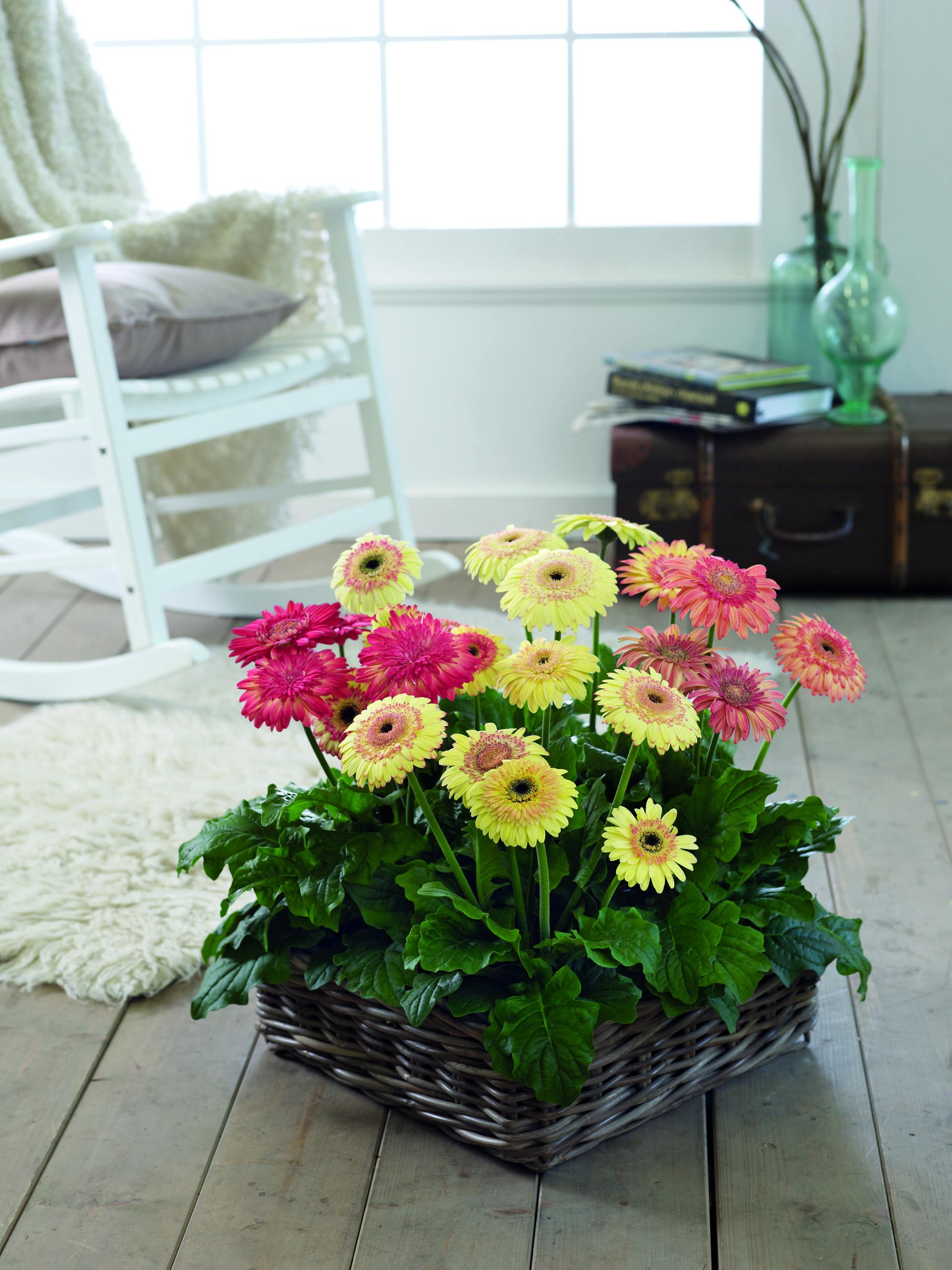 Gerbera Cartwheel Strawberry Twist Indoor Basket Syngenta Flowers Jardinagem