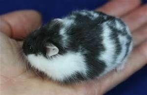 Fancy Russian Dwarf Hamster Bing Images Hamster Life Dwarf Hamster Hamster