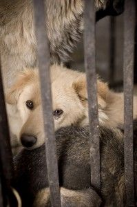 Stop Cruel Dog Meat Festival | Dogs and Puppies | Dogs, Animals, Dog cat