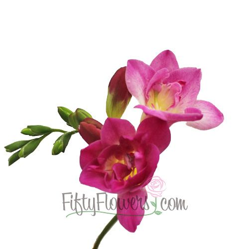 Fiftyflowers dark pink freesia flower flowers freesias fiftyflowers dark pink freesia flower mightylinksfo