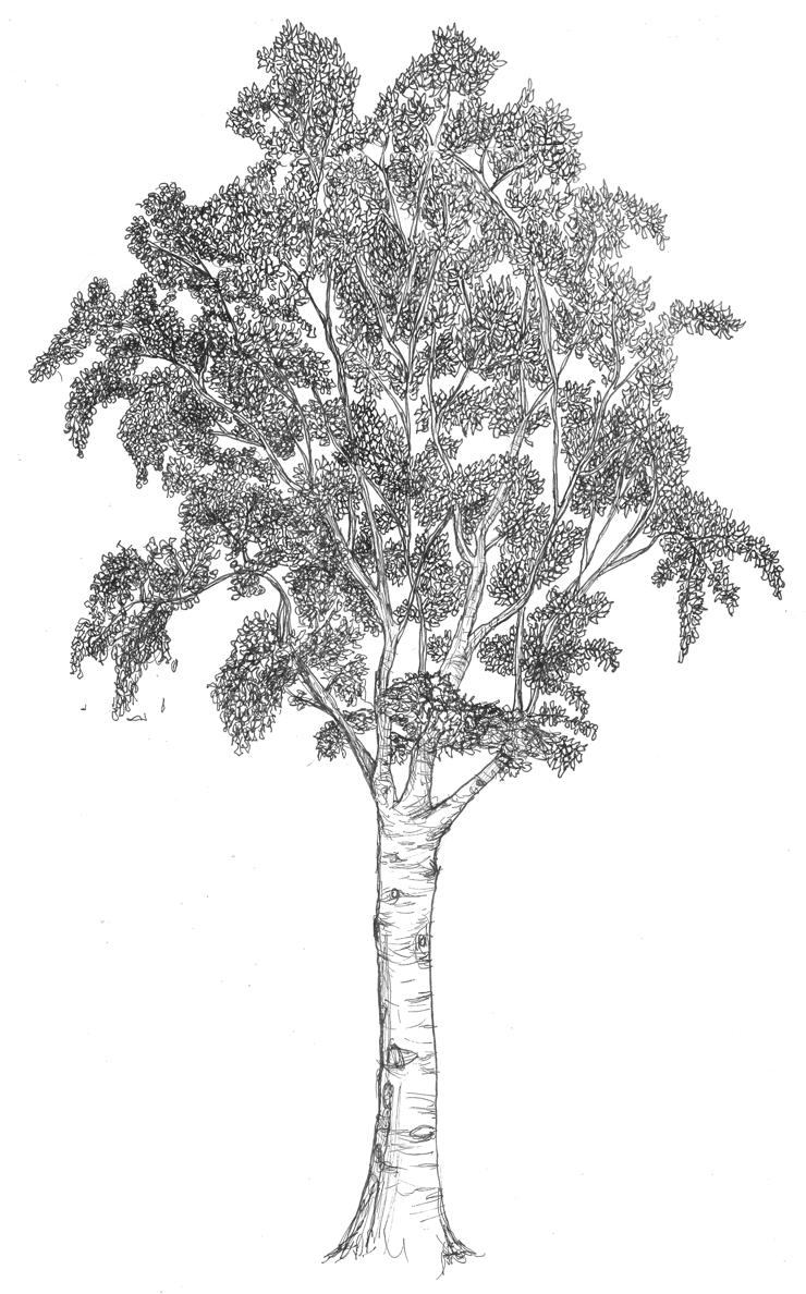 Silver Birch Sketch Google Search Trees Pinterest