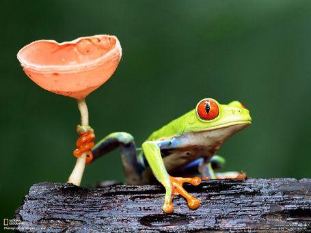 красноглазая древесная лягушка