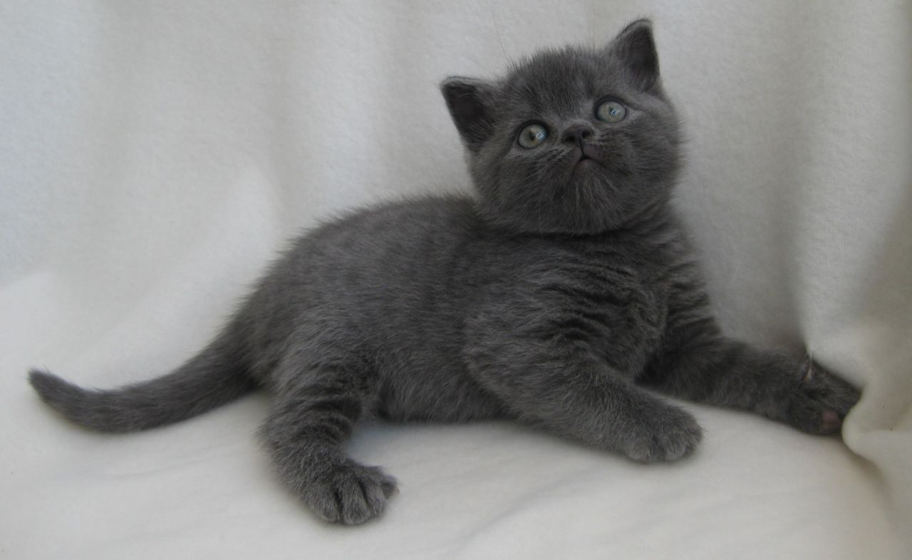British Blue Cats This Looks Like Our Family Cat Fender Cat Breeds British Shorthair Kittens Pretty Cats
