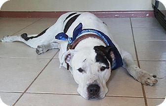 Tampa Fl American Bulldog Great Dane Mix Meet Harvey A Dog