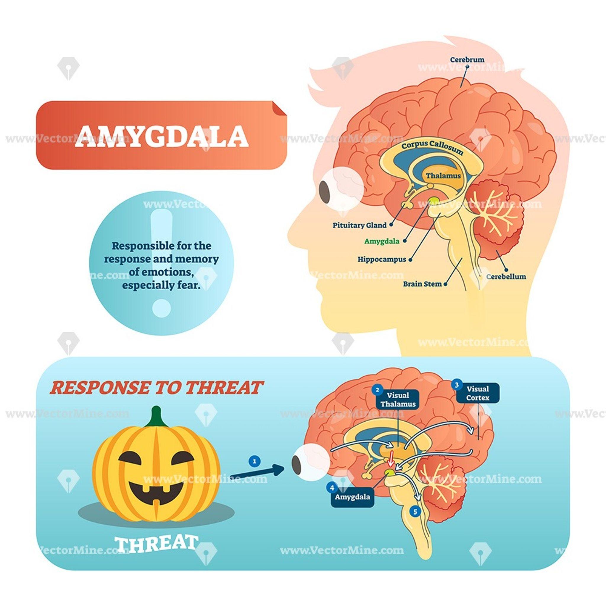 Amygdala Medical Labeled Vector Illustration Diagram