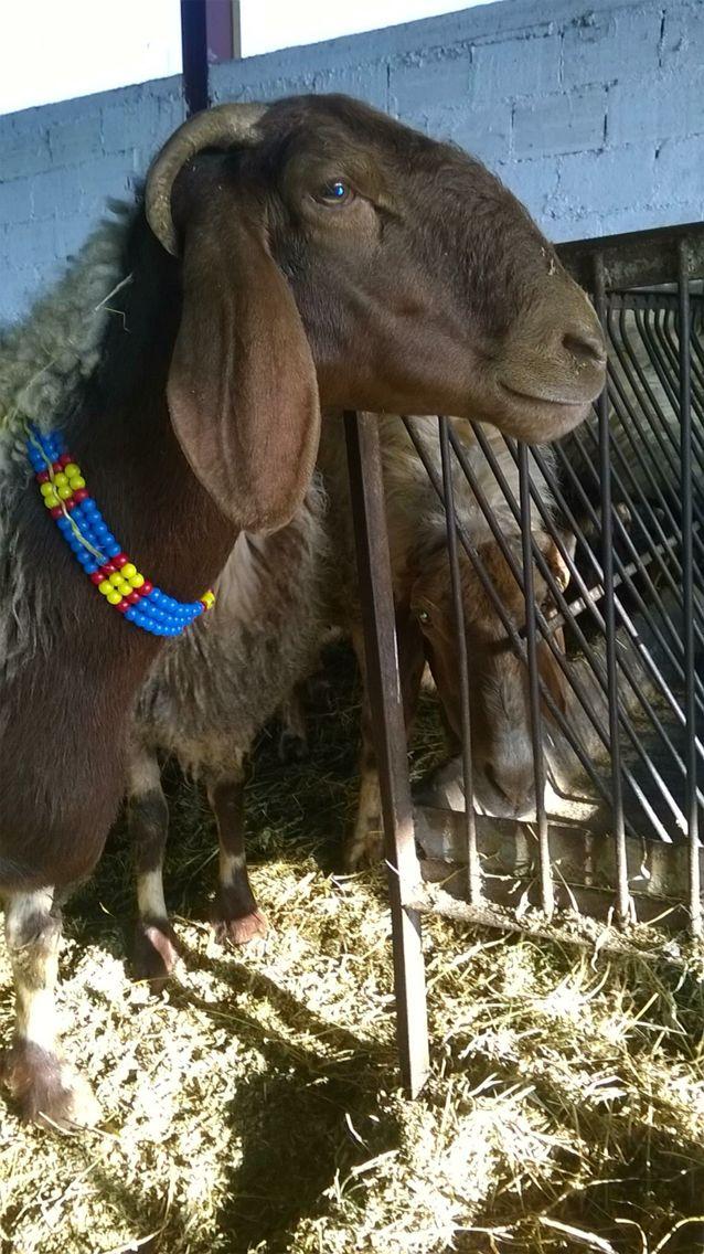 www.karrasfarm.com New and Improved Awassi dairy sheep. USA, Greece and Cyprus.