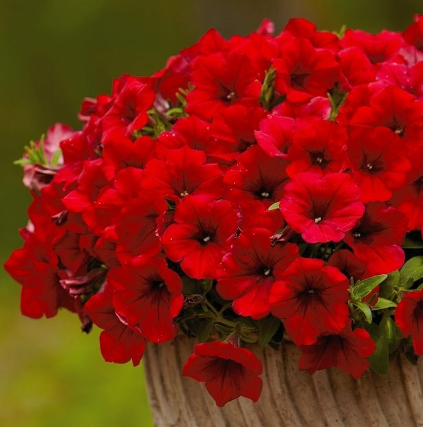 Petunia Surfinia Deep Red With Images Beautiful Flowers