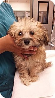 Pittsburg Ca Silky Terrier Poodle Miniature Mix Meet Tesla A