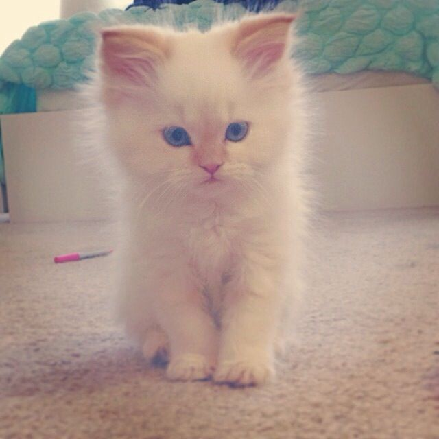 Fluffy Flame Point Siamese Kitten Siamese Kittens Raining Cats And Dogs Kittens Cutest