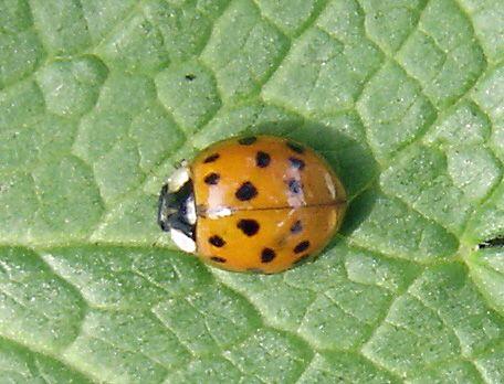 asian beetle Multicolored ladybug