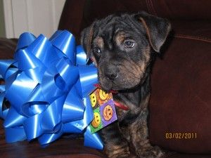 Rottie Shar Pei Mix Puppy Possibly Pug Too I Would Give Him To