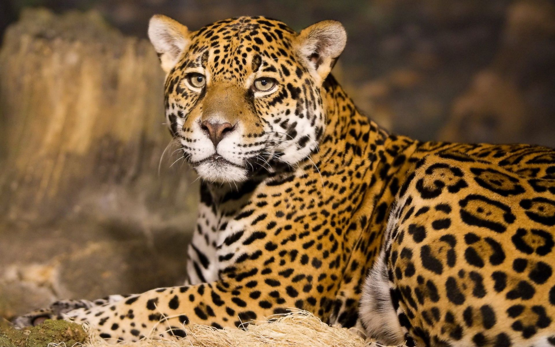 What differentiates a leopard from a cheetah or a jaguar