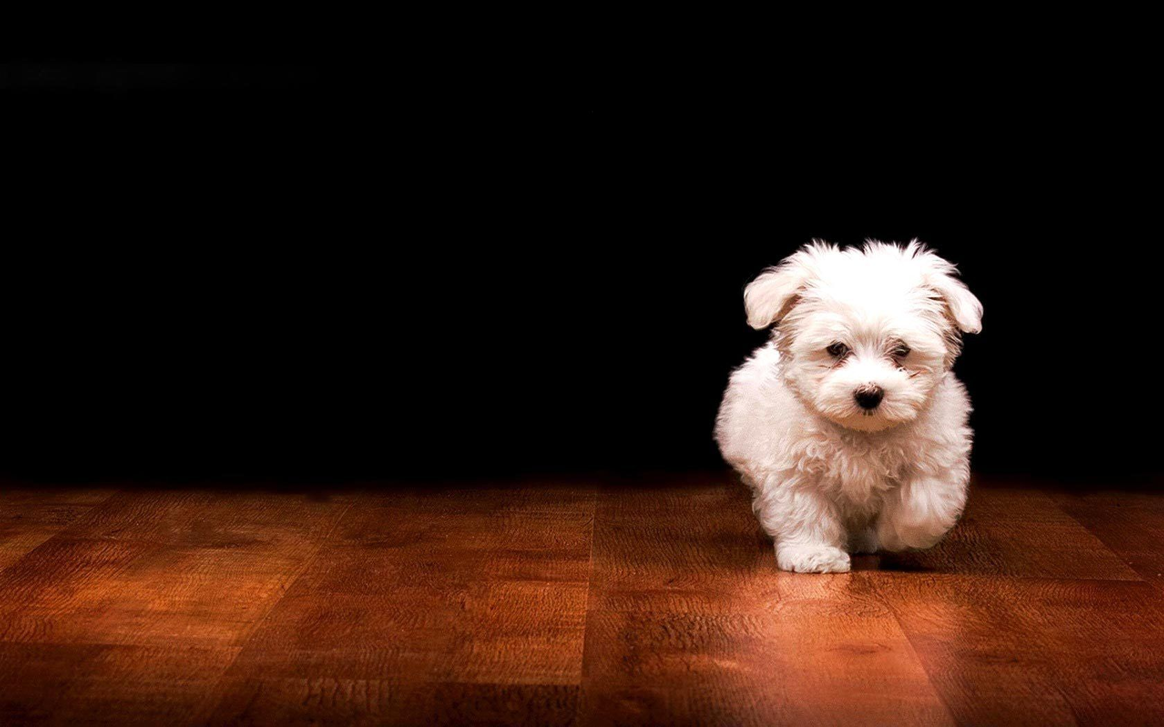 Puppy Wallpaper Mobile For Desktop Wallpaper 1680 X 1050