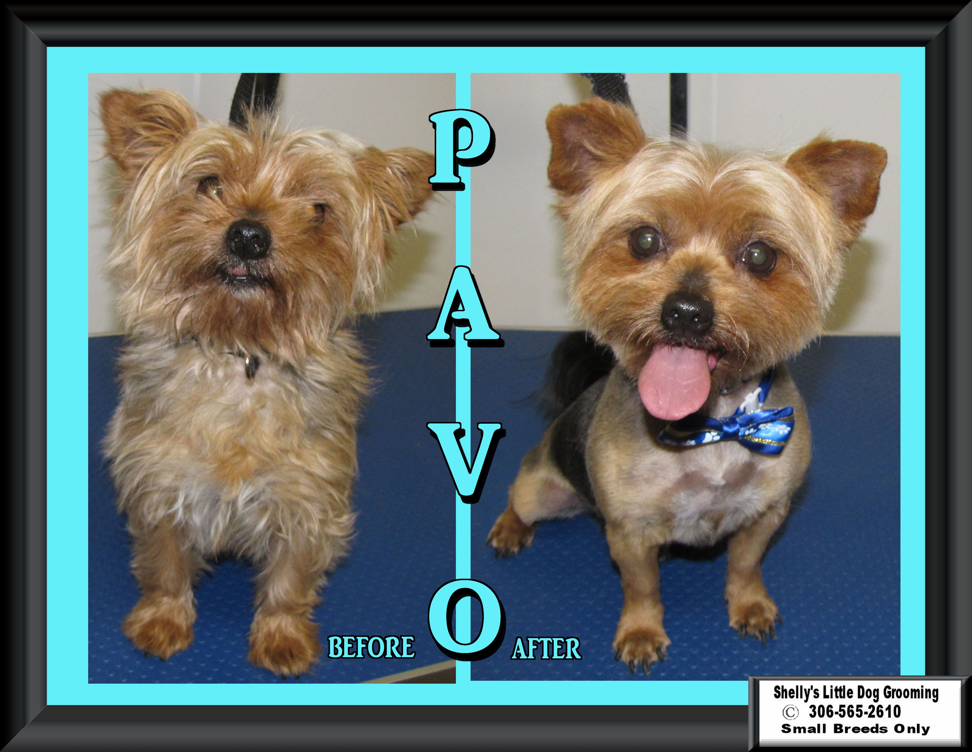 Pavo is very good for his groom but he looks straight up nose in the air when you are grooming his face. - silly pup lol :)