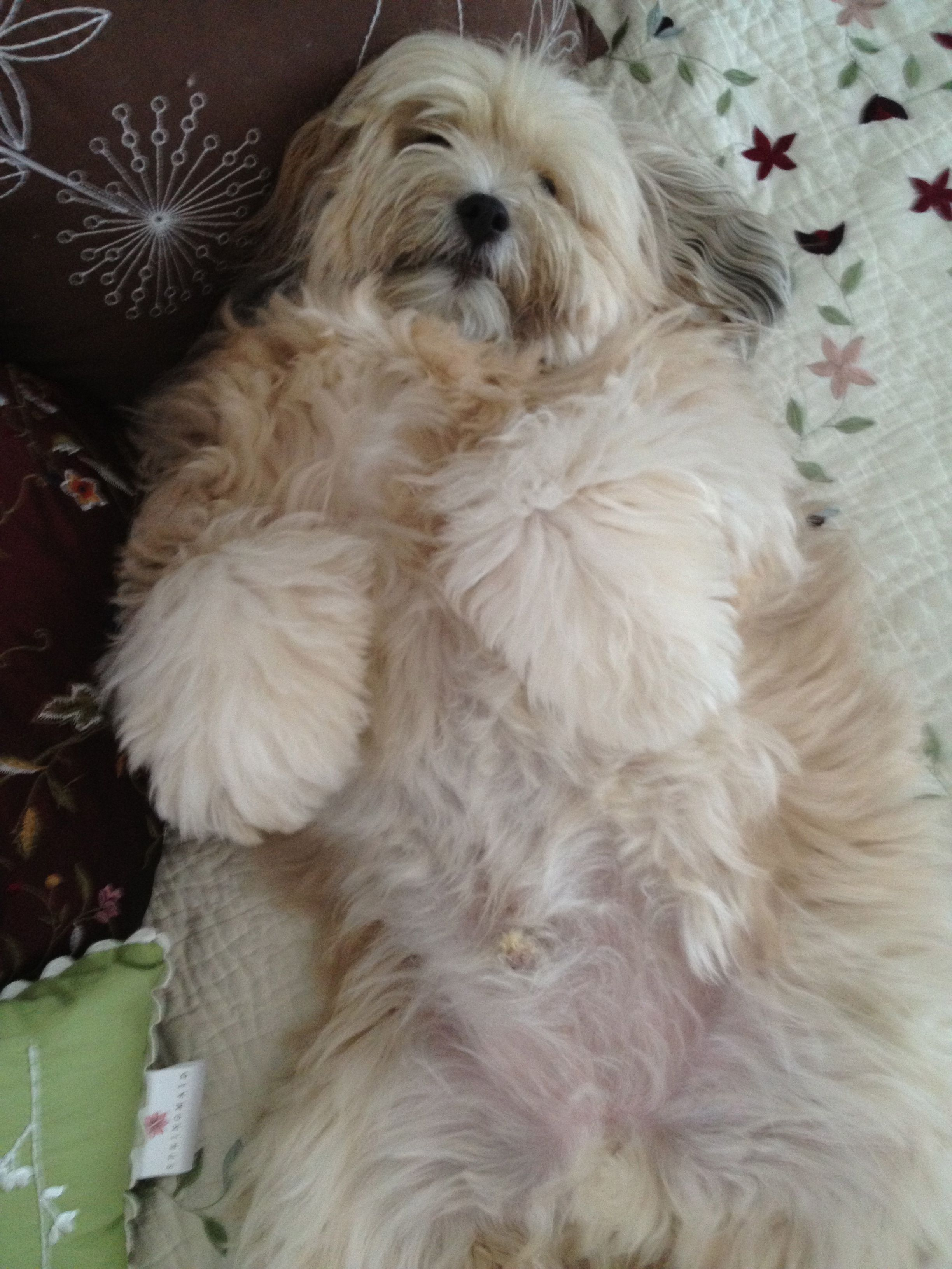 My Tibetan Terrier Loves A Comfy Bed Tibetan Terrier Cool Pets Cute Dogs