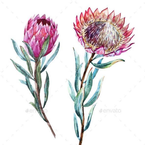 King Queen Protea Protea Flower Protea Art Free Art Prints