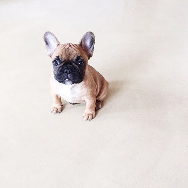 Best French Bulldog Chubby Adorable Dog - 85d92453c092bb7d1c94d85f81164c52  Best Photo Reference_144588  .jpg