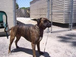 Rohan is an adoptable Boxer Dog in Titusville, FL. (For