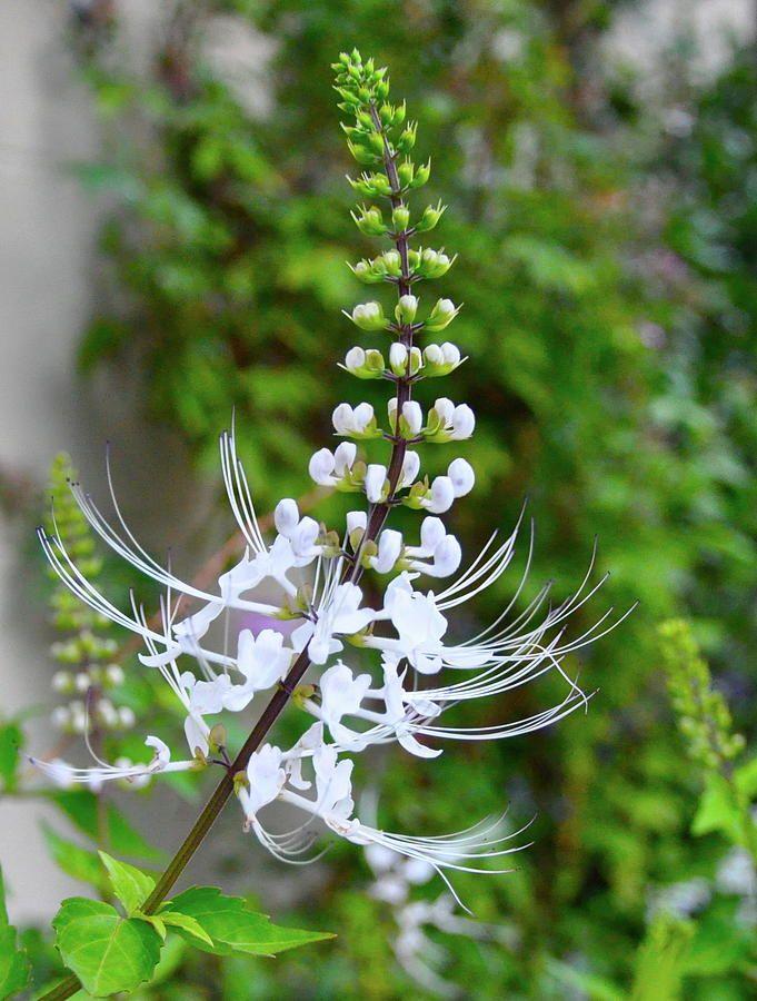 White flower, not sure what it is - I suspect a delphinium?