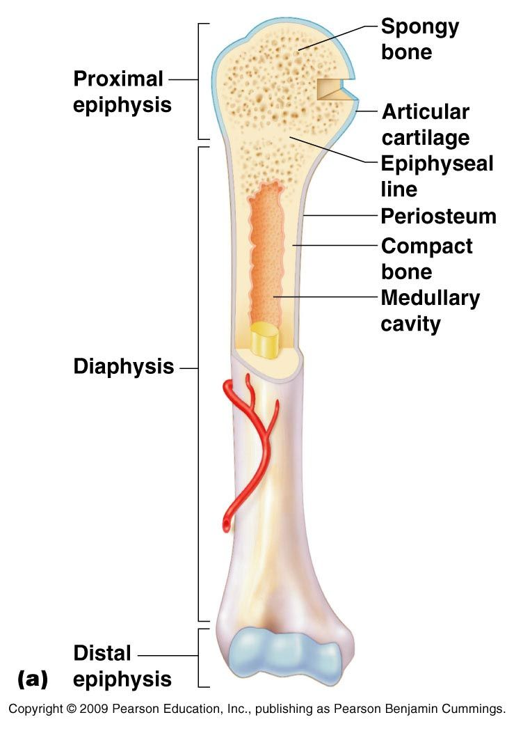 anatomy of a bone clear image | Teaching Anatomy and Physiology ...
