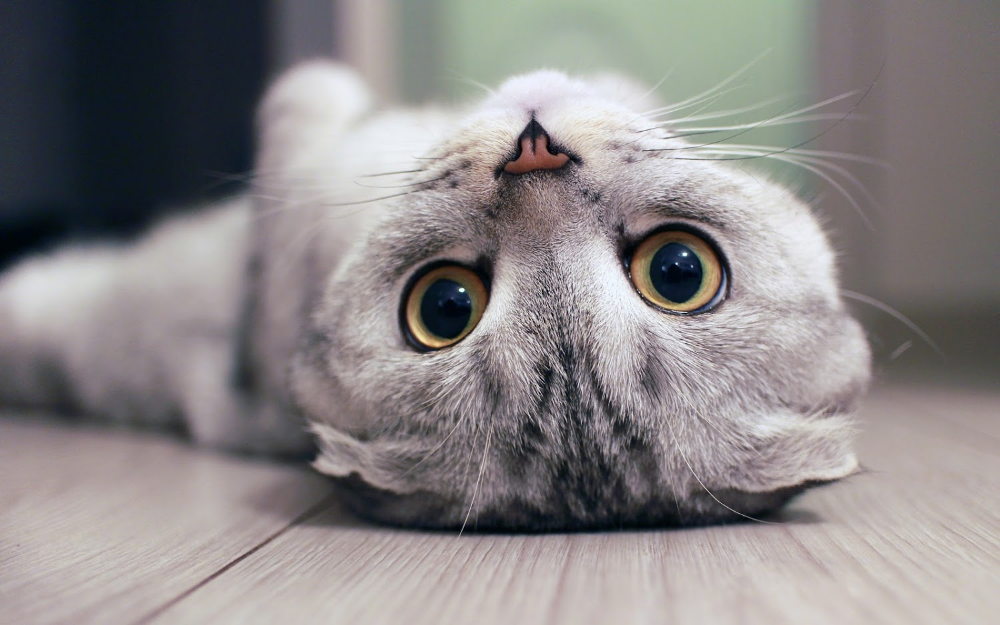 Cat Wallpaper 4k Pets Collection Laginate Cat Scottish Fold Cat Jokes Funny Cats And Dogs