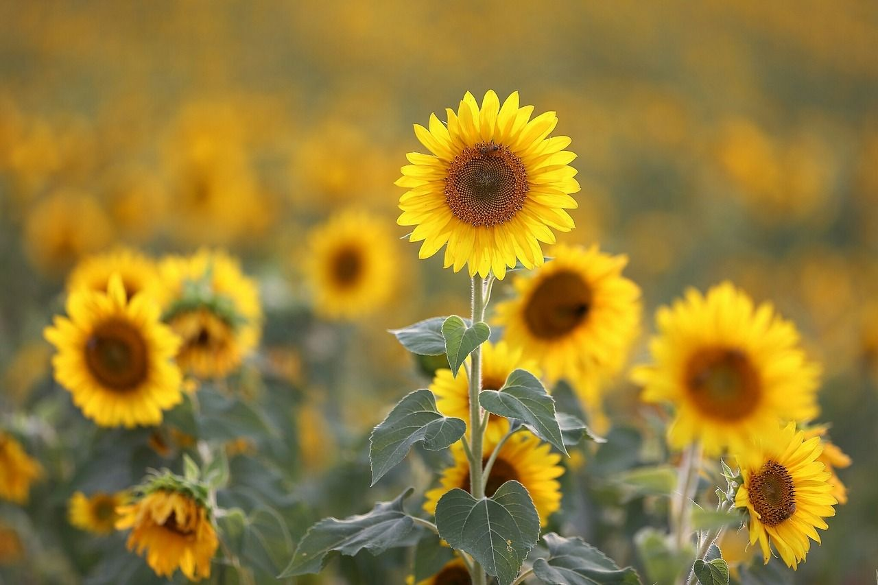 Pin by h on helianthus to the sun flower man Happy
