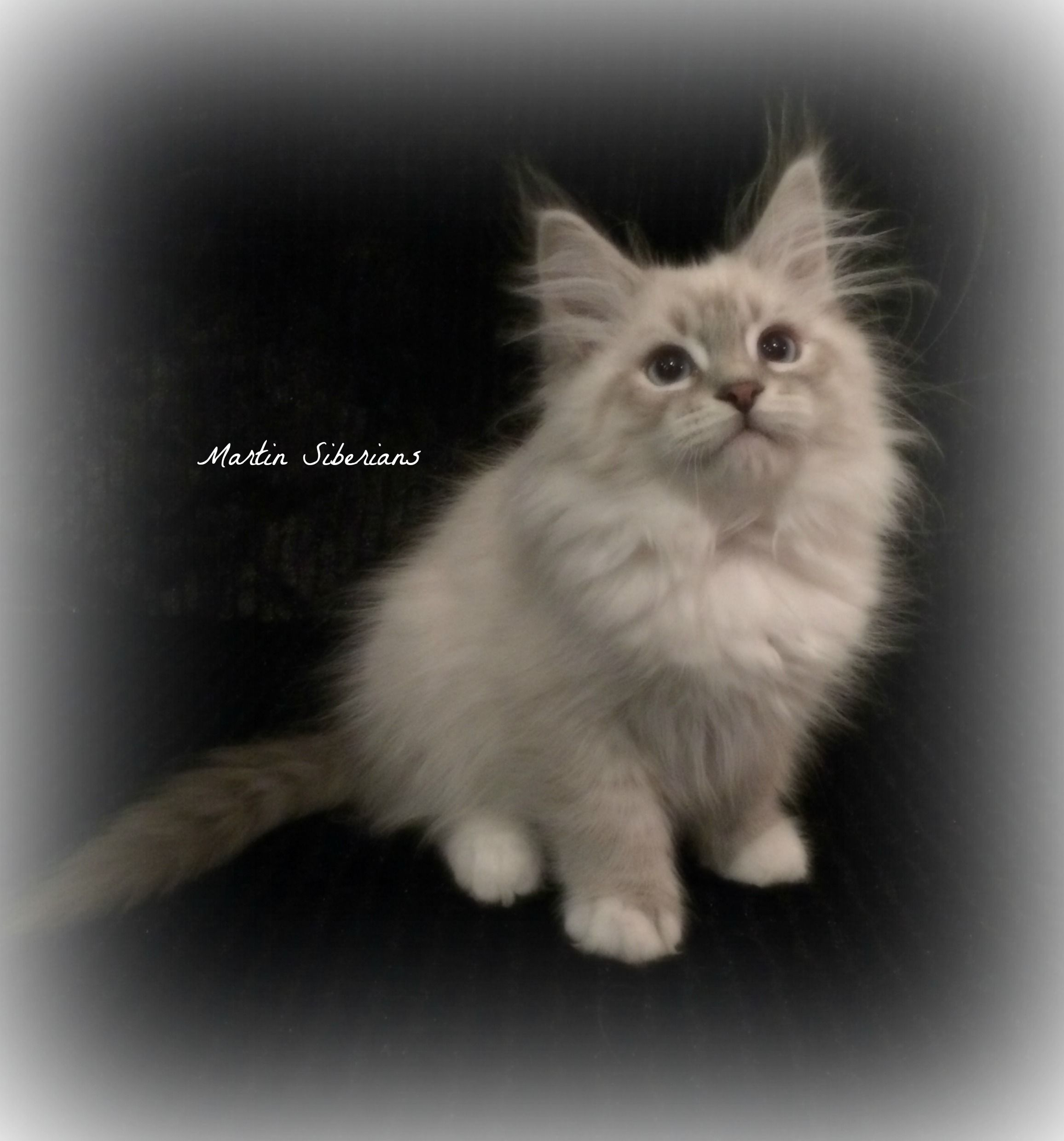 Hypoallergenic Siberian Cats and Kittens for sale Chats