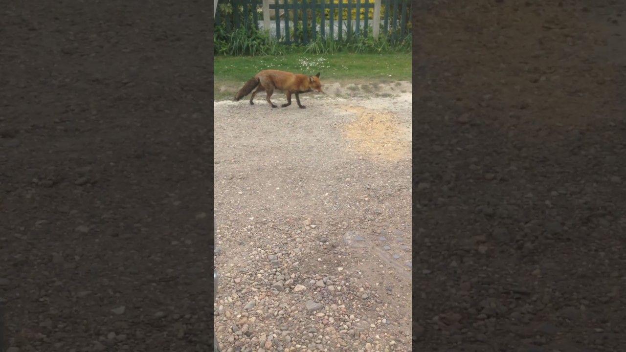 my friend the fox seen in my client u0027s garden yesterday afternoon