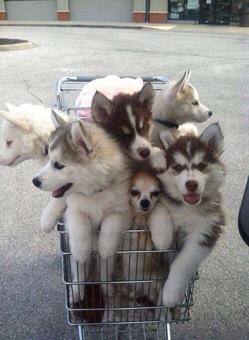 Shopping cart full of HUSKIES!