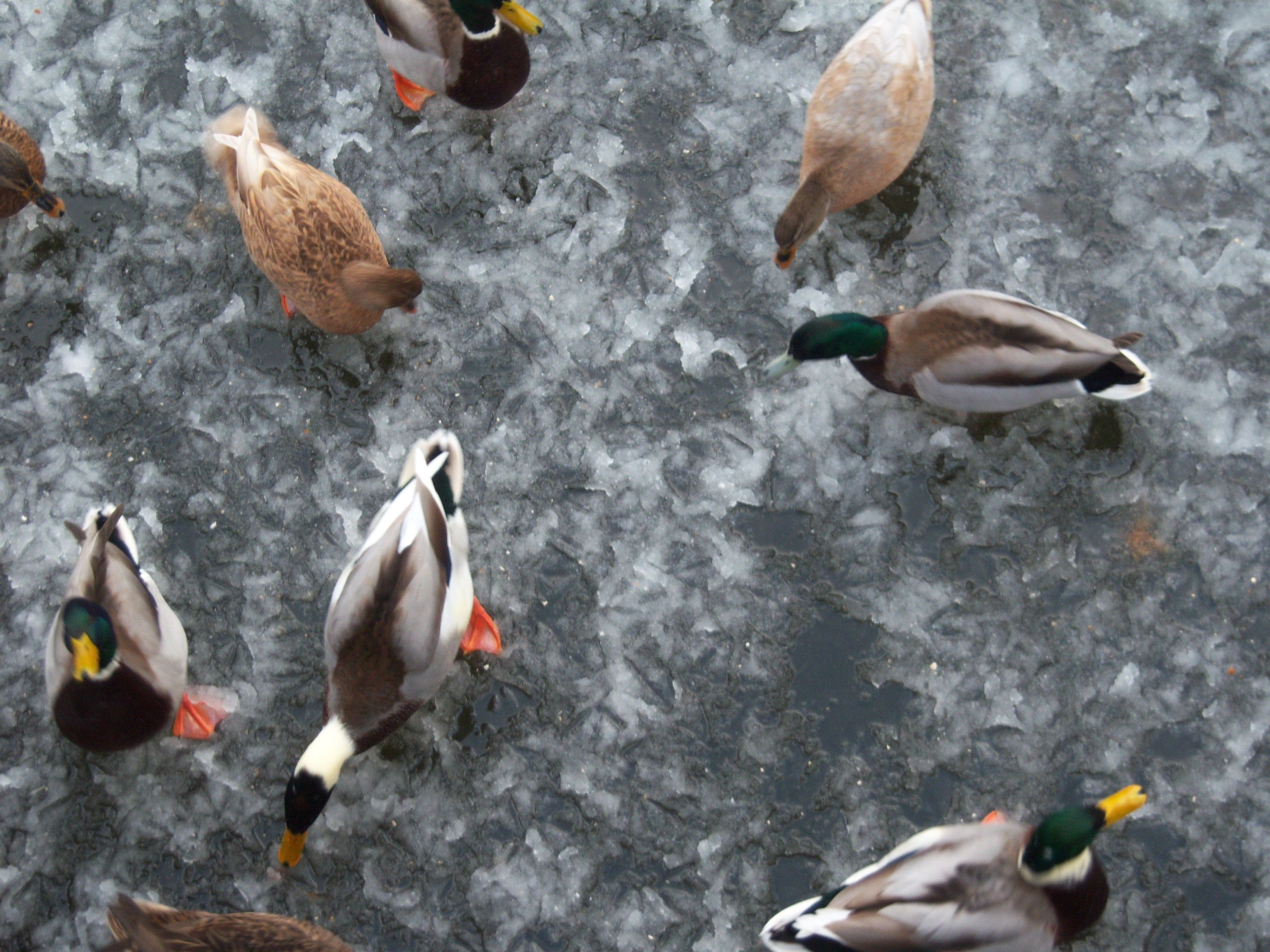 #Photograpy #Duck #Ice #Winter