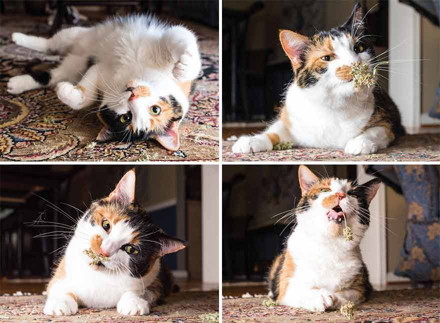 Photographer Takes Photos Of Cats High On Catnip And The Result Is Too Funny Cats Kittens Siberian Cats For Sale Cute Animals