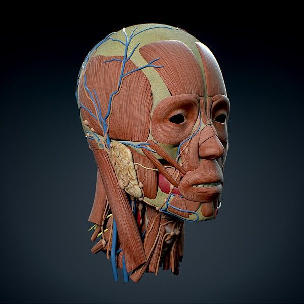 this image represents human anatomy 3d models on cgtrader, Muscles