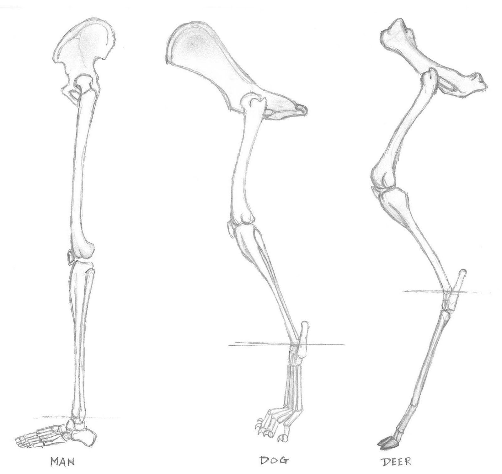 Hind Limb Homology Anatomy