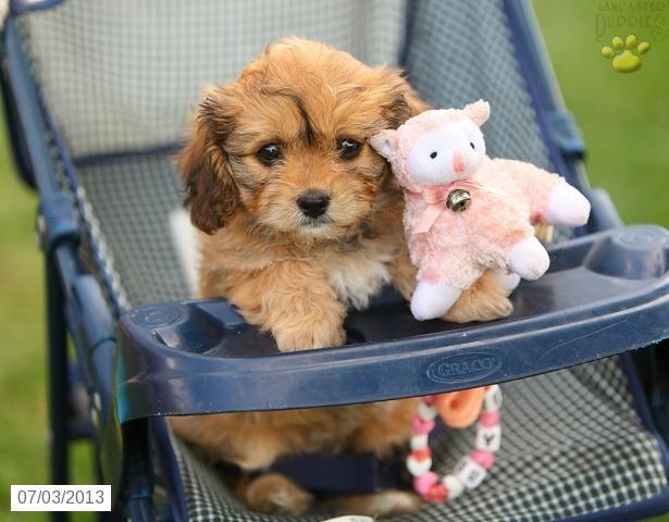 Cavashon Puppies For Sale Lancaster Puppies Cavachon Puppies Puppies Lancaster Puppies