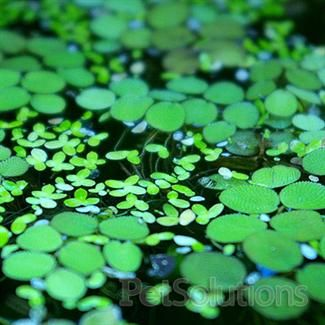 Duckweed Floating Aquarium Plants For Sale Online Petsolutions Floating Plants Planted Aquarium Freshwater Aquarium Plants