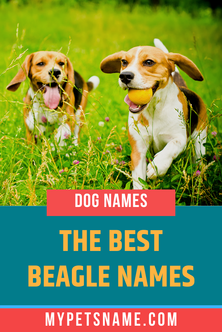 Beagles Need Plenty Of Play And Exercise As They Tend To Get A Little Mischievous But That Makes Them All The More Fun Beagle Names Cool Pet Names Dog Names